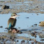 Sacred kingfisher. Adult on mudflat. Auckland, July 2012. Image © Joke Baars by Joke Baars