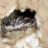 Sacred kingfisher. Chicks in nest burrow. Great Barrier Island. Image © Eugene Polkan by Eugene Polkan