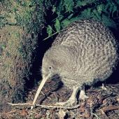 Great spotted kiwi. Adult. Mount Bruce Wildlife Centre, September 1975. Image © Department of Conservation  by Rod Morris, Department of Conservation  Courtesy of Department of Conservation
