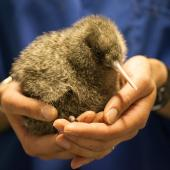 Great spotted kiwi. Captive-bred chick . Willowbank Wildlife Park, January 2011. Image © Sabine Bernert by Sabine Bernert www.sabinebernert.fr