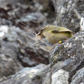 Rock wren. Adult male carrying weta to nest. Haast Range, Mt Aspiring National Park, December 2014. Image © David Webb by David Webb