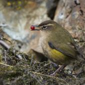 Rock wren. Adult female with berry. Otira Valley, April 2018. Image © Oscar Thomas by Oscar Thomas