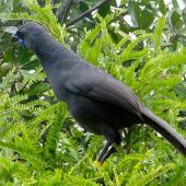North Island kokako. Adult in kowhai. Tiritiri Matangi Island, January 2009. Image © Suzi Phillips by Suzi Phillips