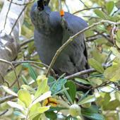 North Island kokako. Adult male eating karo fruit. Tiritiri Matangi Island, April 2013. Image © David Brooks by David Brooks