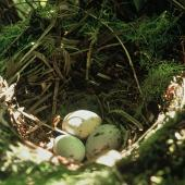 North Island kokako. Nest with three eggs. Mapara, King Country, March 1995. Image © Department of Conservation (image ref: 10025058) by Ian Flux Courtesy of Department of Conservation