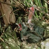North Island kokako. Two chicks in nest. Mapara, King Country, March 1995. Image © Department of Conservation (image ref: 10025054) by Ian Flux Courtesy of Department of Conservation