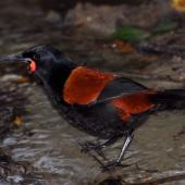 North Island saddleback. Adult standing in shallow stream. Kapiti Island, July 2010. Image © Peter Reese by Peter Reese