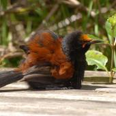 North Island saddleback. Sunbathing adult with flax pollen on head. Tiritiri Matangi Island, November 2008. Image © Peter Reese by Peter Reese