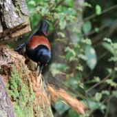 North Island saddleback. Young adult excavating rotten pine stump with beak. Karori Sanctuary / Zealandia, November 2011. Image © David Brooks by David Brooks