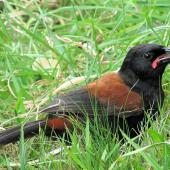 North Island saddleback. Juvenile feeding on ground. Tiritiri Matangi Island, October 2015. Image © Oscar Thomas by Oscar Thomas https://www.flickr.com/photos/kokakola11/