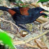 North Island saddleback. Juvenile foraging. Kapiti Island, March 2009. Image © Alex Scott by Alex Scott