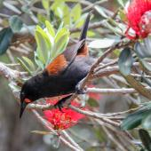 North Island saddleback. Adult on pohutukawa. Tiritiri Matangi Island, December 2014. Image © Sandy Abbot by Sandy Abbot http://nzbirdsonline.org.nzIG @sandysviews