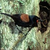 North Island saddleback. Adult male at nest. Cuvier Island, November 1979. Image © Department of Conservation (image ref: 10031191) by Dick Veitch, Department of Conservation Courtesy of Department of Conservation