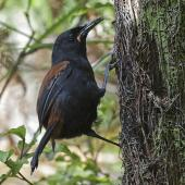 South Island saddleback. Adult female with a jumping weta caught on a tree fern. Ulva Island, February 2018. Image © Bruce Buckman by Bruce Buckman https://www.flickr.com/photos/brunonz/