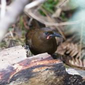 South Island saddleback. Juvenile, about 12 months old. Ulva Island, Stewart Island, January 2013. Image © Peter Tait by Peter Tait Courtesy Peter Tait http://www.sailsashore.co.nz, tait@sailsashore.co.nz