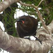 South Island saddleback. Juvenile. Anchor Island, November 2010. Image © James Mortimer by James Mortimer
