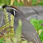 California quail. Adult male showing head. Lower Hutt, December 2010. Image © John Flux by John Flux