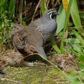 California quail. Pair with chicks. Wellington, February 2012. Image © Peter Reese by Peter Reese