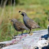 California quail. Adulr pair (female left). Riversdale Wairarapa, November 2011. Image © Peter Reese by Peter Reese