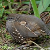 California quail. Female with chick. Wellington, February 2012. Image © Peter Reese by Peter Reese