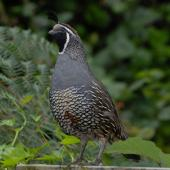 California quail. Front view of adult male. Wellington, February 2012. Image © Peter Reese by Peter Reese