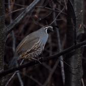 California quail. Male perched in tree. Queenstown, August 2010. Image © Peter Reese by Peter Reese