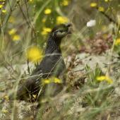 California quail. Adult female among flowers. Waitakere Ranges, Auckland, December 2010. Image © Eugene Polkan by Eugene Polkan