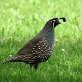 California quail. Adult male. Waitangi, October 2012. Image © Thomas Musson by Thomas Musson tomandelaine@xtra.co.nz