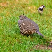California quail. Female. Pukawa, January 2013. Image © Albert Aanensen by Albert Aanensen