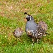 California quail. Adult male with chicks. Pukawa, January 2013. Image © Albert Aanensen by Albert Aanensen