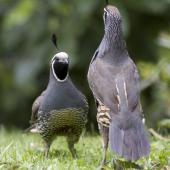 California quail. Males fighting. Lake Tarawera, January 2010. Image © p by Phil Battley Males fighting.