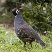 California quail. Adult male. Lake Tarawera, January 2010. Image © Phil Battley by Phil Battley