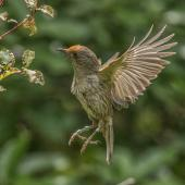 Stitchbird. Flying female (with flax pollen on forehead). Tiritiri Matangi Island, December 2015. Image © Martin Sanders by Martin Sanders http://martinsanders.smugmug.com/