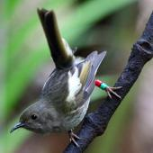 Stitchbird. Adult female. Kapiti Island, November 2015. Image © Paul Le Roy by Paul Le Roy