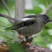 Stitchbird. Female. Karori Sanctuary / Zealandia, January 2011. Image © Duncan Watson by Duncan Watson