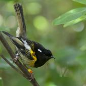 Stitchbird. Adult male. Tiritiri Matangi Island, November 2012. Image © Philip Griffin by Philip Griffin