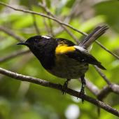 Stitchbird. Male on branch near track. Tiritiri Matangi Island, January 2016. Image © David Rintoul by David Rintoul