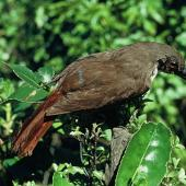 North Island piopio. Mounted adult specimen. Wellington, October 1971. Image © Department of Conservation (image ref: 10031194) by John Kendrick, Department of Conservation Courtesy of Department of Conservation