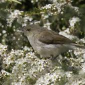 Grey warbler. Juvenile hunting insects among kanuka flowers. Sinclair Wetlands,  Otago, December 2012. Image © Steve Attwood by Steve Attwood http://www.flickr.com/photos/stevex2/