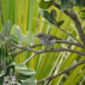 Grey warbler. Adult male . Tawharanui Regional Park, November 2007. Image © Michael Anderson by Michael Anderson
