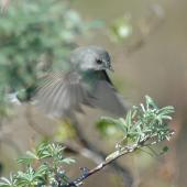 Grey warbler. Adult hovering. Amberley beach walkway, August 2014. Image © Donald Searles by Donald Searles