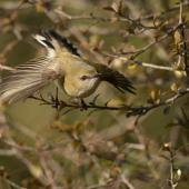 Grey warbler. Adult taking flight. Dunedin, July 2012. Image © Craig McKenzie by Craig McKenzie