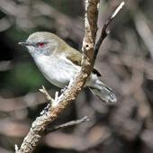 Grey warbler. Adult. Cape Kidnappers, June 2010. Image © Dick Porter by Dick Porter