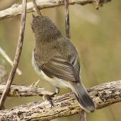 Grey warbler. Adult. Wanganui, September 2012. Image © Ormond Torr by Ormond Torr