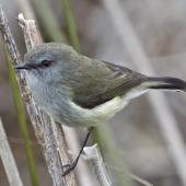 Grey warbler. Adult on reeds. Nelson sewage ponds, July 2015. Image © Rebecca Bowater by Rebecca Bowater FPSNZ AFIAP www.floraandfauna.co.nz