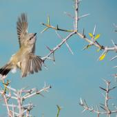 Grey warbler. Adult in flight. Wairepo Arm, Lake Ruataniwha, Twizel, May 2015. Image © Shellie Evans by Shellie Evans http://tikitouringnz.blogspot.co.nz/