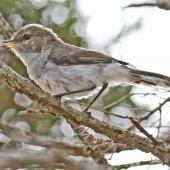 Grey warbler. Fledgling. Cape Kidnappers, January 2011. Image © Dick Porter by Dick Porter