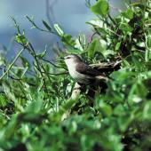 Chatham Island warbler. Side view of adult male. Mangere Island, Chatham Islands, October 1980. Image © Department of Conservation by Dave Crouchley Courtesy of Department of Conservation