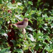 Chatham Island warbler. Juvenile. Rangatira Island, Chatham Islands, January 1984. Image © Colin Miskelly by Colin Miskelly