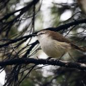 Chatham Island warbler. Adult male. Chatham Island, May 2019. Image © Edin Whitehead by Edin Whitehead Edin Whitehead www.edinz.com
